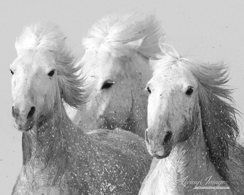 horses are galloping at ncar