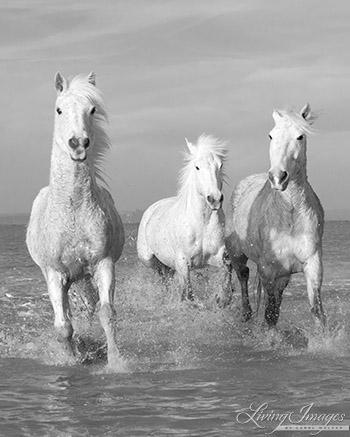 Water Run for Three White Horses