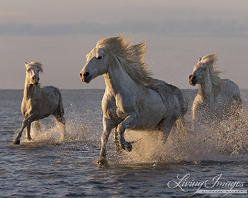 Camargue Horses Run at Sunset