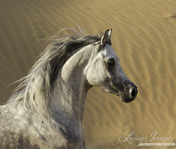 Desert Stallion Against the Dunes