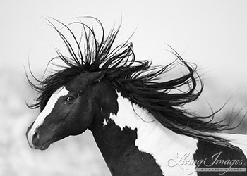 Black and White Stallion