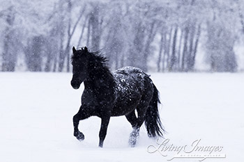Black Horse in the Falling Snow