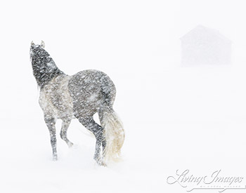 Mare in a Blizzard II