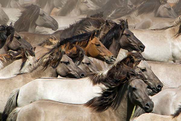Duelmen Pony Herd in motion