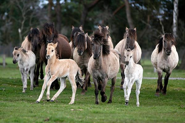 Dulmen Pony families