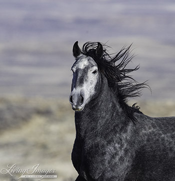 Stallion's close up