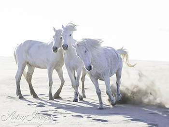 Three white horses at the beach living images fineartcolor 316 threeplayonthebeachcarolwalker three play on the beach by publicscrutiny Gallery