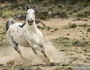wild horse, mustang, grey stallion in Adobe Town, Southwestern WY