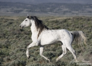 wild horse, mustang, grey stallion cantering in Adobe Town, Southwestern WY