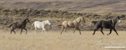 wild horses, mustangs, Adobe Town, southwestern Wyoming, mare, foals, colts