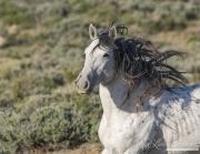 wild horse, grey stallion in Adobe Town, Southwestern WY