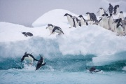 Adelie Penguins jumping into water, Paulet Island, Antarctica