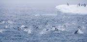 Adelie Penguins Porpoising, Paulet Island, Antarctica