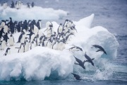 Adelie Penguins jump off iceberg at Paulet Island, Antarctica