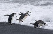Chinstrap Penguins jumping into surf, Deception Island, Antarctica