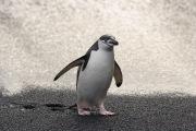 Chinstrap Penguin on beach, Deception Island, Antarctica