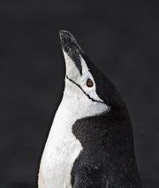 Chinstrap Penguin, Deception Island, Antarctica