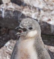 Chinstrap chick calling, Elephant Island, Antarctica