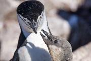 Chinstrap Penguin feeding chick, Elephant Island, Antarctica