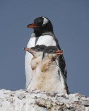 Gentoo Penguins, Gold Beach, South Georgia Island