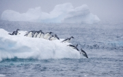 Adelie Penguins jumping into water, Paulet Island, Antarctica