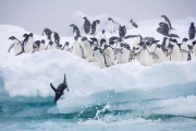 Adelie Penguins jump off iceberg at Paulet Island, Antactica
