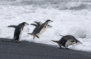 Chinstrap Penguins jumping into surf, Deception Island, Antarctica