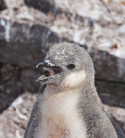 Chinstrap chick calling, Elephant Island, Antarctica