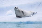 Crabeater Seal on iceberg, Paradise Bay, Antarctica