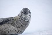 Leopard Seal on iceberg, Paradise Bay, Antarctica