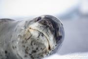 Close up of Leopard Seal on iceberg, Paradise Cove, Antarctica