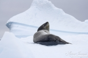 Leopard Seal on Iceberg, Paulet Island, Antarctica