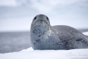 Weddell Seal on iceberg, Paulet Island, Antarctica