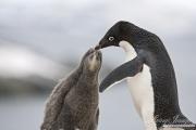Adelei Penguin feeding chick, Paulet Island, Antarctica