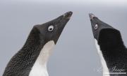 Two adult Adelei Penguins, Paulet Island, Antarctica