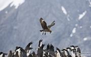 Antarctic Skua attacking Adelie Penguin colony, Paulet Island, Antarctica