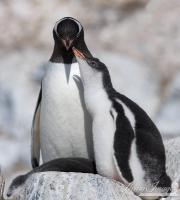Gentoo Penguin and chick, South Georgia Island