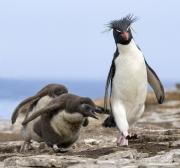 Rockhopper adult penguin persued by 2 chicks, Faulkland Islands