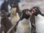 Adult Rockhopper penguins with chicks in background, Faulkland Islands