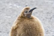 King Penguin chick, Salisbury Plain, South Georgia Island
