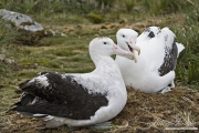 Mating Pair of Wandering Albatross on nest, Prion Island, South Georgia Island