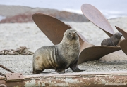 Fur Seals on Propellers of old whaler, South Georgia Island