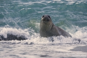 Elephant seal at Gold Beach, South Georgia Island