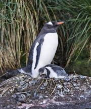 Gentoo Penguin and chicks on nest, Gold Beach, South Georgia Island