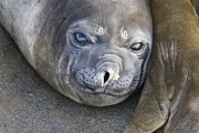 Elephant Seal, Gold Beach, South Georgia Island