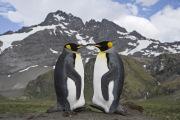 Mating Pair of King penguins, Gold Beach, South Georgia Island