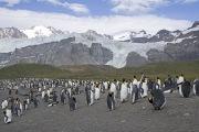 King Penguin colony on Gold Beach, South Georgia Island