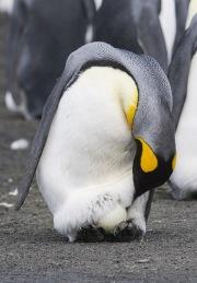 King Penguin with egg on Gold Beach, South Georgia Island