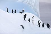 Chinstrap Penguins on Iceberg, South Orkney Islands