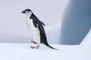 Chinstrap Penguin on iceberg, South Orkney Islands
